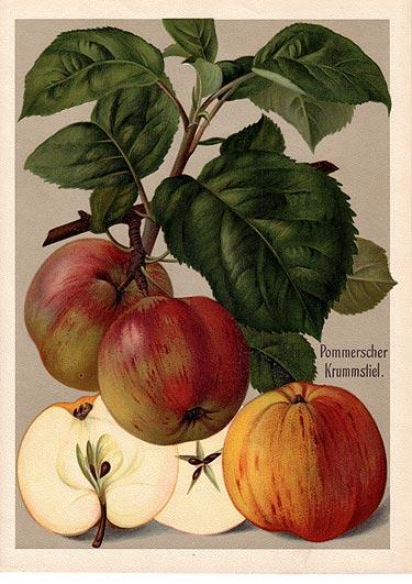 Kernobst Apfel Pommerscher Krummstiel